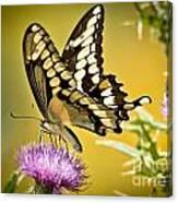 Giant Swallowtail On Thistle Canvas Print