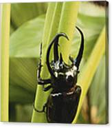 Giant Three-horned Beetle Canvas Print