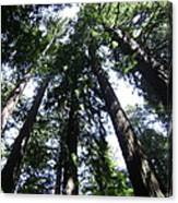 Giants Of The Forest Canvas Print
