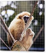 Gibbon On A Swing Canvas Print