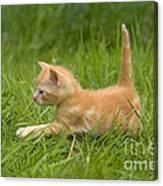 Ginger Tabby Kitten Canvas Print