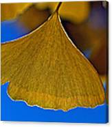 Gingko Leaf Losing Chlorophyll Canvas Print
