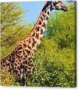 Giraffe Among Trees. Safari In Serengeti. Tanzania Canvas Print