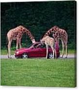 Giraffe. Animal Studies Canvas Print