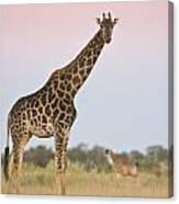 Giraffe At Sunset Canvas Print