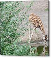 Giraffe Drinking Canvas Print