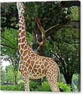Giraffe Eats-09053 Canvas Print