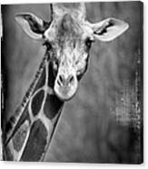 Giraffe Face In Black And White Canvas Print
