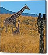 Giraffe Family In Living Desert Museum In Palm Desert-california Canvas Print