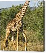 Giraffe From Tanzania Canvas Print