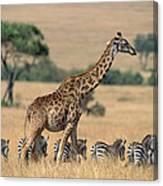 Giraffe Giraffa Camelopardalis Canvas Print