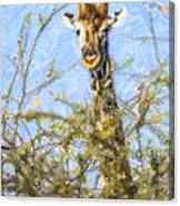 Giraffe Giraffa Camelopardalis Peeping From Acacia Canvas Print