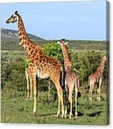 Giraffe Group On The Masai Mara Canvas Print