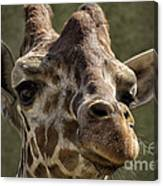Giraffe Hey Are You Looking At Me Canvas Print