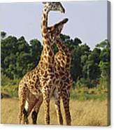 Giraffe Males Sparring Masai Mara Kenya Canvas Print