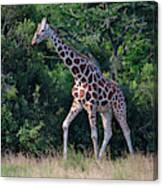 Giraffe, Mount Kenya National Park Canvas Print