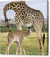 Giraffe Nuzzling Her Nursing Calf Canvas Print