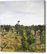 Giraffe Panorama Canvas Print