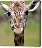 Giraffe Peek A Boo Poster Canvas Print
