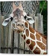 Giraffe-really-09025 Canvas Print
