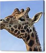 Giraffes 3 Canvas Print