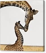 Giraffe's First Kiss Canvas Print