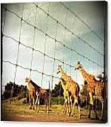 Giraffes Leave Canvas Print