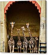 Giraffes Lineup Canvas Print