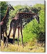 Giraffes On Savanna Eating. Safari In Serengeti Canvas Print