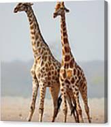 Giraffes Standing Together Canvas Print