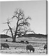 Give Me A Home Where The Buffalo Roam Bw Canvas Print