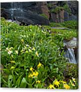 Glacier Lilies And Globeflower Beside A Mountain Stream Canvas Print