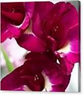 Gladiolus Priscilla. Pink Gladiolus Canvas Print