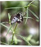 Glass-wing Butterfly Canvas Print