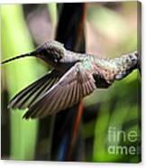 Gliding Hummingbird Canvas Print