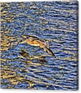 Gliding Pelican Canvas Print