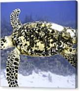 Gliding Sea Turtle Canvas Print