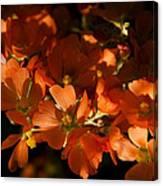 Globe-mallow Blooms  Canvas Print