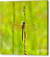 Glorious Golden-winged Canvas Print