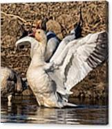 Glorious Snow Goose Canvas Print