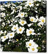 Glorious White Roses Db Canvas Print
