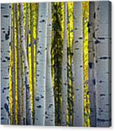 Glowing Aspens Canvas Print