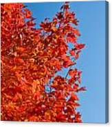 Glowing Fall Maple Colors 1 Canvas Print