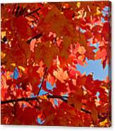 Glowing Fall Maple Colors 3 Canvas Print