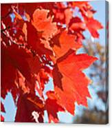 Glowing Fall Maple Colors 4 Canvas Print