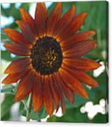 Glowing Red Sunflower Canvas Print