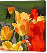 Glowing Sunlit Tulips Art Prints Red Yellow Orange Canvas Print