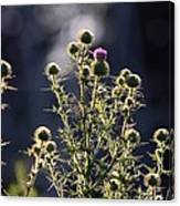 Glowing Thistle - 3 Canvas Print
