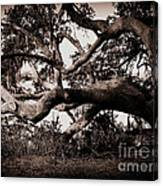 Gnarly Limbs At The Ashley River In Charleston Canvas Print