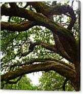 Gnarly Oak Canvas Print